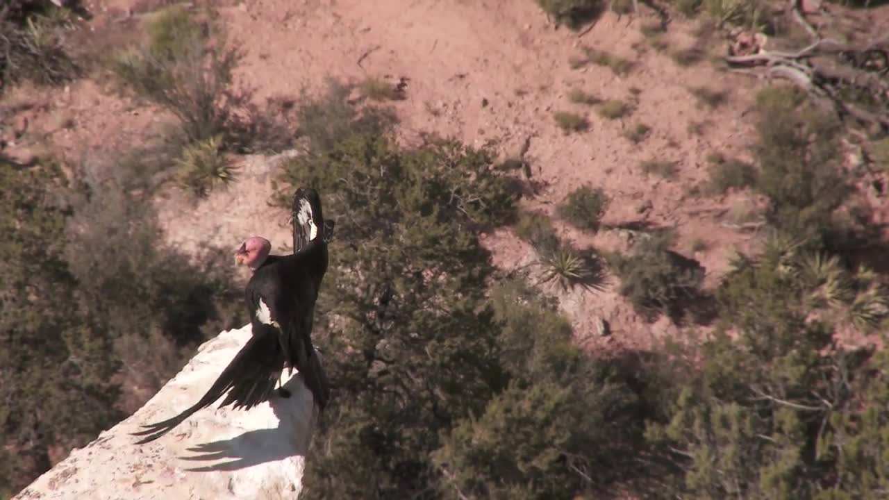 Watch free video Grand Canyon NP: Condors at the South Rim