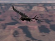 Watch free video Grand Canyon National Park: Condors Flying