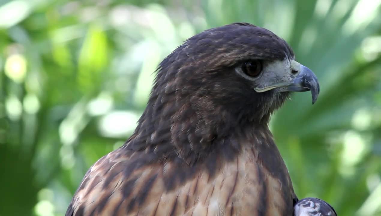 Watch free video Amazing Hawk