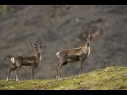 Watch free video Gates Of The Arctic National Park: Caribou