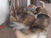 Watch free video 3 Rescue Wolf Dogs Mix Playing LARC3