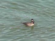 Watch free video 4 Ducks Swim By Alaska Mohr Productions