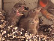 Watch free video Baby Birds In Nest Fed By Father-Eating Close Up