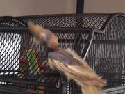 Watch free video Bobby Bird Bouncing Dancing Featherless LARC 081