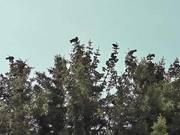 Watch free video Dozens Black Birds Cover Tree Tops Alaska