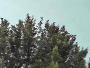 Watch free video Dozens Black Birds Cover Tree Tops Alaska