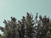 Watch free video Dozens of Birds Cover Tree Alaska
