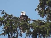 Watch free video Eagle in Tree Medium Alaska