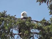 Watch free video Eagle in Tree 2 Alaska