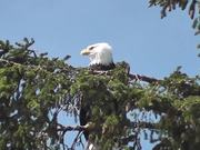 Watch free video Eagle in Tree 2 Alaska