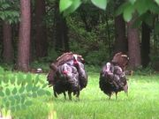 Watch free video Turkeys Display Feathers for Mating and Attracting