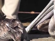 Mira dibujos animados gratis Pelicans Eating Butchered Swordfish Cabo San Lucas