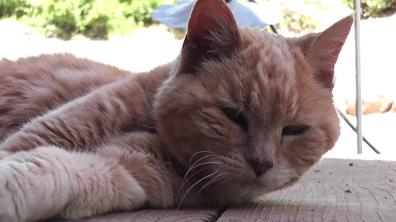 Watch free video Red Cat Close Up Older Rescued