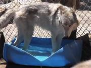Watch free video Rescue Wolf Dog Mix Bathing Standing Water LARC