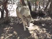Watch free video Rescue Wolf Dog Walks By Branches LARC