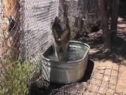 Watch free video Rescue Wolf in Water Walks Away LARC