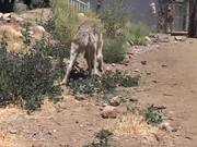 Watch free video Rescue Wolf Walking On Dirt LARC