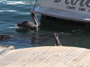 Watch free video Sea Lion Head Close Up In Water Cabo San Lucas