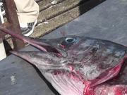 Watch free video Swordfish Cutting Up Close Up Cabo San Lucas