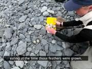 Watch free video Kenai Fjords NP: Researching Black Oystercatcher