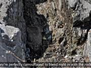 Watch free video Kenai Fjords NP: Black Oystercatcher Productivity
