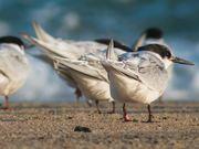 Mira dibujos animados gratis Cape Cod NS: Shorebirds at the Seashore