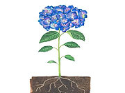 Watch free video The Chemistry Behind Hydrangea Colors