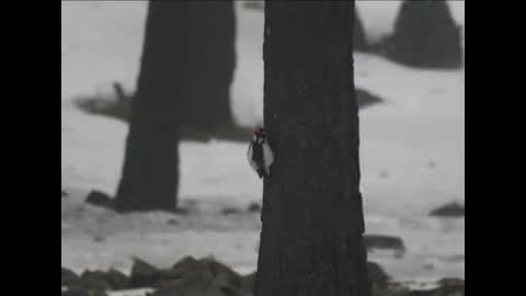 Watch free video Yellowstone National Park: Winter Bird Watching
