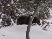 Watch free video Yellowstone National Park: Spring Bears