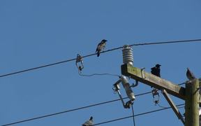 Watch free video Birds on  Electric Wires