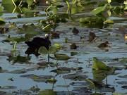 Watch free video Ducks Swimming