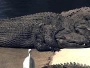 Watch free video Alligators Sunning