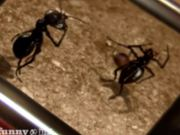Watch free video Ant fight club