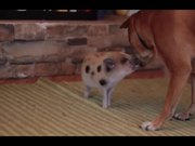 Watch free video Cute Mini Piggy