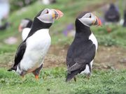 Watch free video Puffins