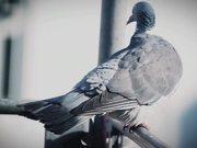 Watch free video Pigeon