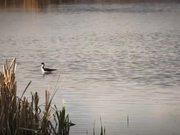 Watch free video Black Necked Stilt Bird