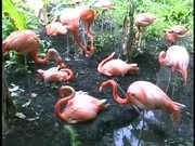 Watch free video Sarasota Jungle Gardens Pink Flamingo
