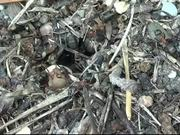Watch free video Ants Carpenter Ant