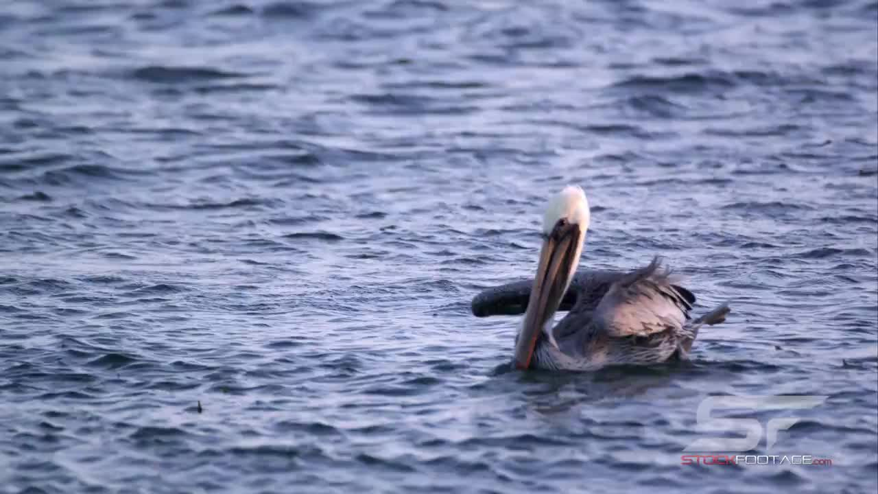 Watch free video Slow Motion Shot of Pelicans Floating in the Ocean