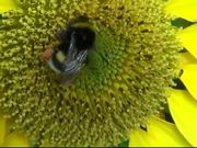 Watch free video Bumblebee on Sunflower