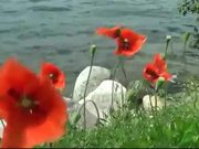 Watch free video Red Poppy on the Wind