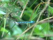 Mira dibujos animados gratis Blue Dragonfly