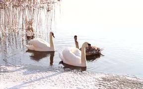 Watch free video Swans Swim