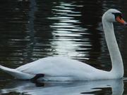 Watch free video White Swan