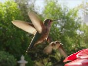 Watch free video Hummingbird Slow Motion