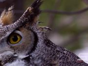Watch free video Birds of Prey Close Up
