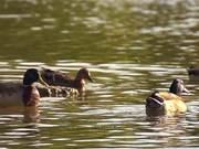 צפו בסרטון מצויר בחינם Beautiful Ducks in Slow Motion