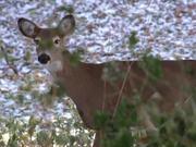 Cute Deer Walking