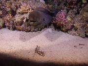 Mira dibujos animados gratis A Giant Moray by Night in the Red Sea
